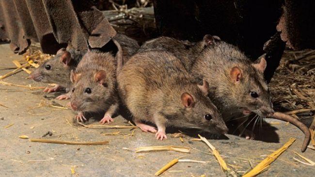 Pigs, Pestilence & Rats