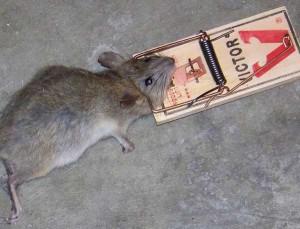 dead rat.2